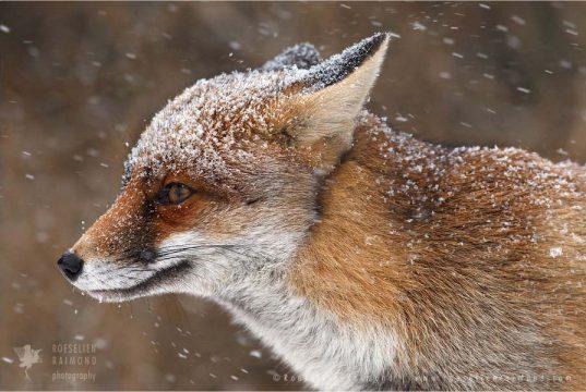 Обаятельные лисицы от фотографа Roeselien Raimond